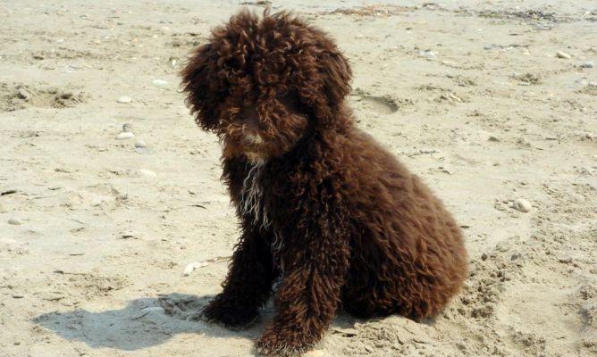 Cuidados del pelo en el perro de aguas superpiensos blog - Como quitar los pelos de perro de la ropa ...