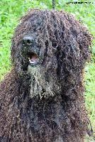 perro-aguas-español