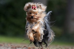 yorkshire terrier en course de face