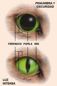 pupilas gatos