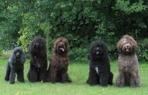perros-de-aguas